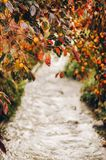 Branches of persimmon tree. Hanging over the river stock photo