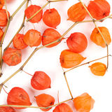 The branches of Physalis isolated on white background Stock Image