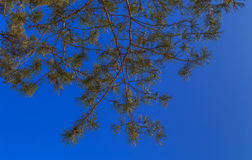 Branches of pine. Against the blue sky Stock Image
