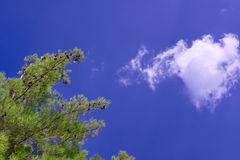 Branches and pine cones on a background of blue sky Stock Images