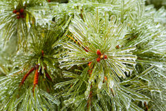 Branches of pine and cones covered with ice Stock Photography