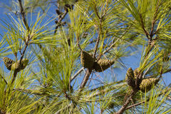 Branches with pine cones Stock Photos
