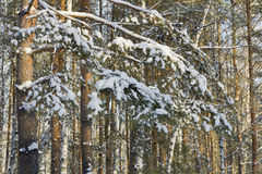 Branches pine covered with snow in winter forest Stock Photo
