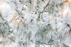 The branches of pine in frost Stock Photos