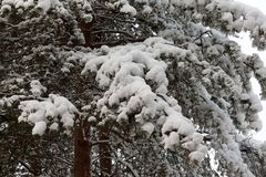Branches of the pine in snow Stock Photos