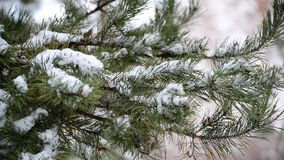 The branches of pine in  snow in at park. The branches of pine in the snow in the park stock video