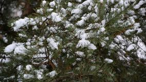 The branches of pine in  snow in at park. The branches of pine in the snow in the park stock video footage