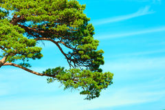 Branches of pine tree against the blue sky. Stock Image
