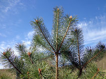 Branches of pine tree Royalty Free Stock Photo