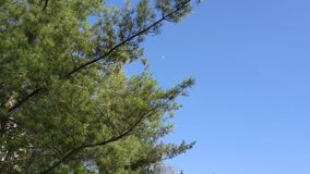 Breeze in pine tree branches. Branches of pine tree blowing in breeze against blue skies on sunny day stock video footage