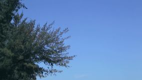 Branches of pine-tree are blown. About on a background blue sky stock footage