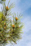 Branches of a pine tree Stock Photography