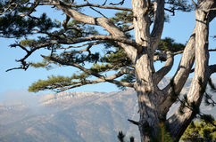 Branches of pine tree royalty free stock images