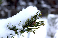 Branches of pine-tree covered with snow in beautiful winter forest. Close-up Royalty Free Stock Photo