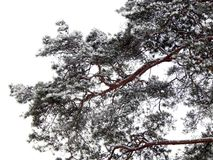 Branches of pine tree covered with snow Royalty Free Stock Photo