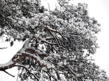 Branches of pine tree covered with snow Royalty Free Stock Image