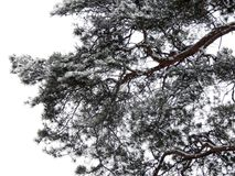 Branches of pine tree covered with snow Royalty Free Stock Photos