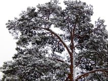 Branches of pine tree covered with snow Stock Photo