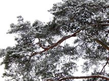 Branches of pine tree covered with snow Royalty Free Stock Photography