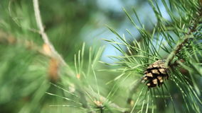 Branches of pine tree with pine cones stock video