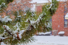 Branches of pine tree with snow. Snow tree Stock Photography