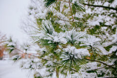 Branches of pine tree with snow Stock Images