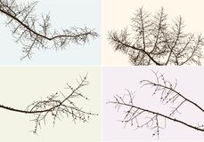 Branches of a pine tree Royalty Free Stock Image