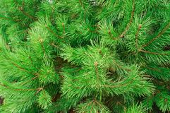 The branches of pine trees as backdrop Stock Image