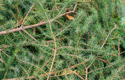 Branches of pine trees Stock Images