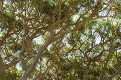 Branches of pine trees. On the French Riviera Stock Photography