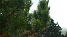 Branches of pine trees in Montenegro near the sea stock footage