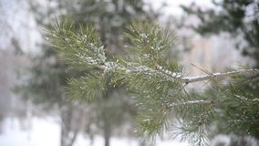 Branches of pinein  snow at  park during a snowstorm. The branches of pine in the snow in the park during a snowstorm stock footage