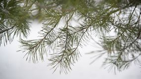 Branches of pinein  snow at  park during a snowstorm. The branches of pine in the snow in the park during a snowstorm stock video footage