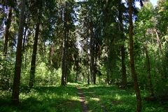 The branches of the pines in the forest soared high above the ground, the crowns of these age-old giants tightly closed. It is felt that the sun`s rays hardly stock images