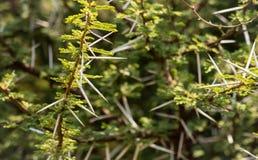 Branches ?pineuses d'acacia photographie stock libre de droits