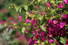 Branches of pink Bougainvillea Stock Photography