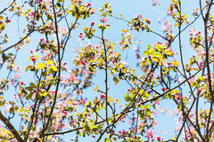 Branches of pink flowering apple tree in spring Royalty Free Stock Photos