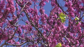 Branches of pink flowering tree waving in wind. Branches of pink flowering spring tree waving in wind stock video