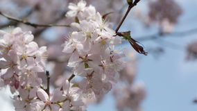 Branches of the pink Japanese Oriental cherry stock video footage