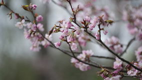 Branches of the pink Japanese Oriental cherry sakura stock video footage