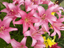 Branches with pink lilies Stock Images