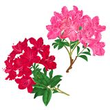 Branches pink and red flowers rhododendrons mountain shrub on a white background set seven vintage vector illustration editable Stock Photo
