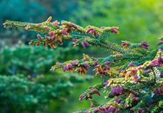 Branches with pink shishkami shine in bright sunlight royalty free stock photo