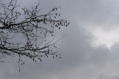 Branches of a plane tree with fruits stock photo