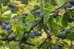 Plum tree with Fruits. Branches of plum tree with fruits royalty free stock photography