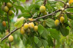 Plum tree with Fruits. Branches of plum tree with fruits royalty free stock photo