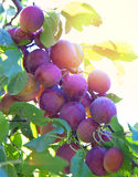 Branches of a plum tree with ripe fruits Royalty Free Stock Image