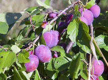 Branches of a plum tree with ripe fruits Royalty Free Stock Photo