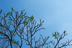 Branches of Plumeria frangipani tree on blue sky background Royalty Free Stock Images