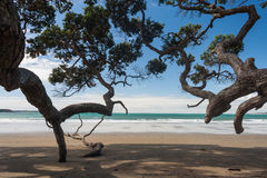 Branches of Pohutukawa tree reaching to sandy beach Royalty Free Stock Images